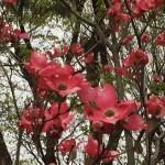 ハナミズキ 赤花アップ