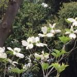 ハナミズキ 白花