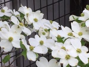 ハナミズキ flowering dogwood