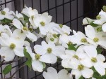 Flowering dogwood/ ハナミズキ