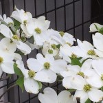 ハナミズキ flowering dogwood