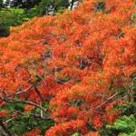 ホウオウボク 明るいオレンジ色の花