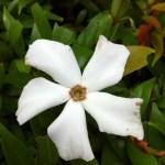 オオミフクラギ 花のアップ