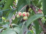 ジャワフトモモ 幼果 おしりだけ少し赤く
