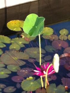 深紅の花 スイレン N.rubraと思われます