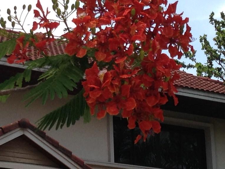 Flame tree/ ホウオウボク