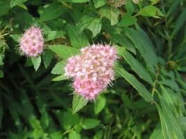 シモツケ/ Japanese spiraea