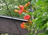 ノウゼンカズラ 花の姿