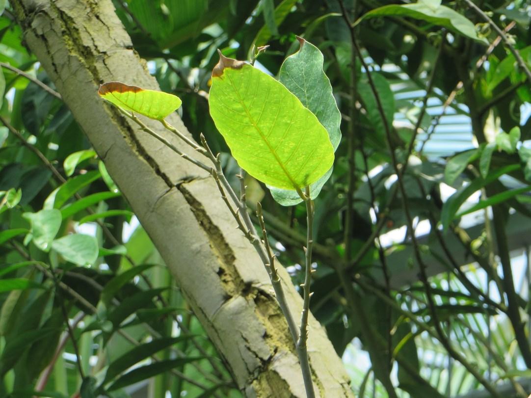 Sal/Shorea robusta