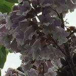キリ/ Empress tree