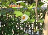ナツツバキ 花の姿