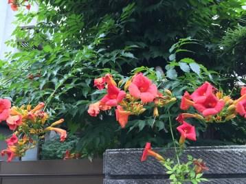ノウゼンカズラ 満開の花
