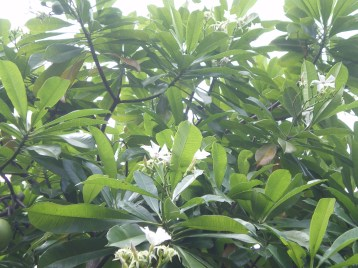 オオミフクラギ 木につく花の姿