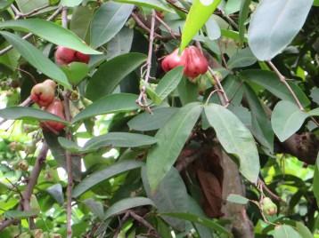 ジャワフトモモ かなり色づいた果実