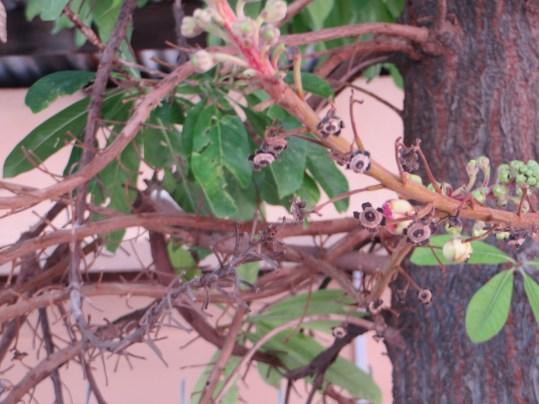 サラ Couroupita guianensis 開花直前の花とつぼみ 花の散った後