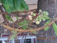 サラ Couroupita guianensis 開花直前の花とつぼみ