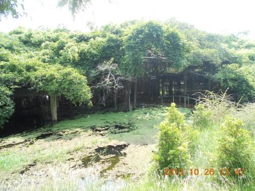 洪水で水没したバイヤンツリーの群生