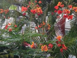 オオゴチョウ 黄色とオレンジの花
