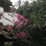 バンコクのサルスベリ 木の姿