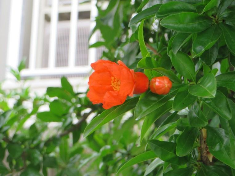 ザクロ/ Pomegranate
