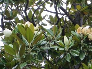 タイサンボクの花と木