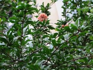 八重咲きの花