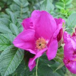 Wild rose/ Rugosa rose ハマナス 花のアップ