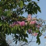 オオバナサルスベリ 薄い色の花の様子