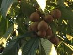 Japanese horse-chestnut/ トチノキ