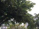 セイヨウトチノキ  マロニエ 木の姿