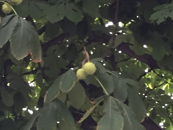 Horse-chestnut/ セイヨウトチノキ マロニエ
