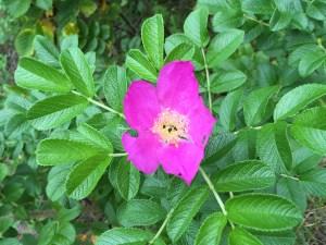ハマナス/ rugosa rose