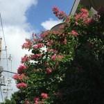 サルスベリ 赤色系の花