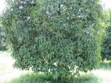 マンゴスチン 木の姿