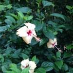 黄色系の花 ブッソウゲ