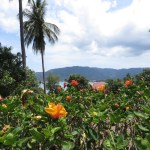 オレンジ色の花の群れ ブッソウゲ