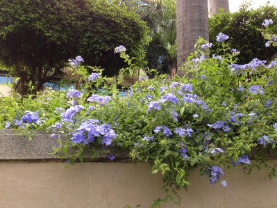 ルリマツリ 垣根の花の様子