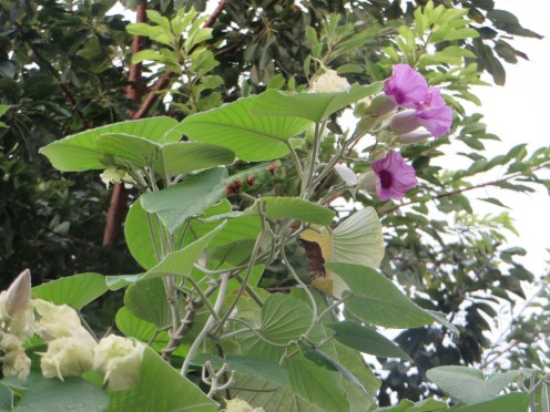 シルバーモーニンググローリー 下から見た花の姿