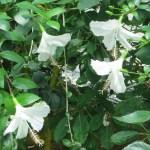 白い花の群れ ブッソウゲ