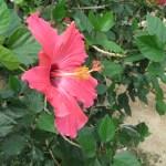 Chinese hibiscus/ ブッソウゲ