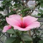 ピンクの大輪 ブッソウゲ