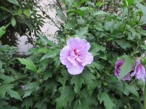 ムクゲ ピンクと紫の花