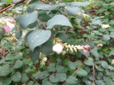 coralberry セッコウボク (赤実種)