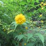 ヤマブキ 八重咲き種の姿