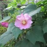 Confederate rose/ フヨウ