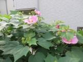 フヨウ 花とつぼみ