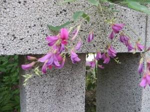 ハギ(ミヤギノハギ?)花の姿