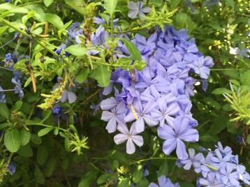 ルリマツリ 花のアップ