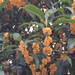 キンモクセイ 花の姿