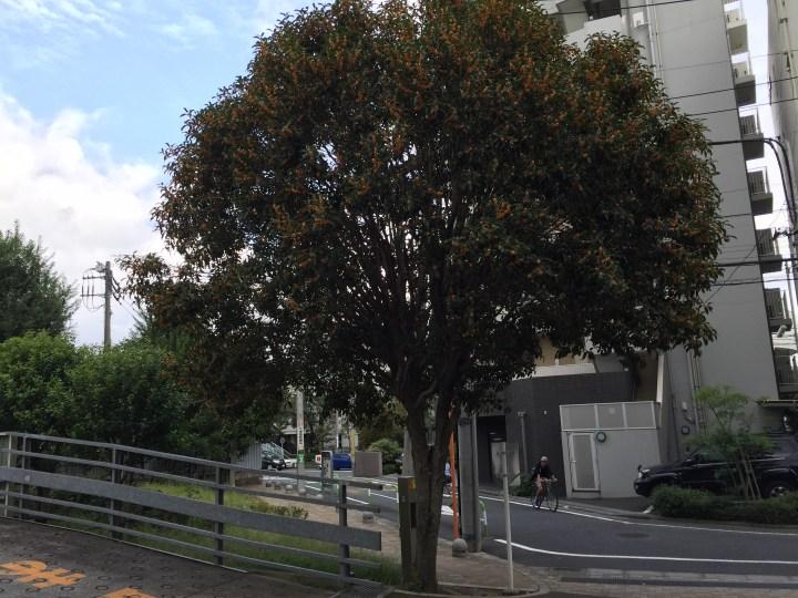 キンモクセイ 花のついた木の全景
